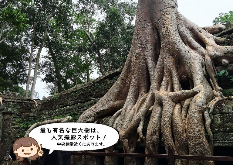 タプローム遺跡 巨大樹
