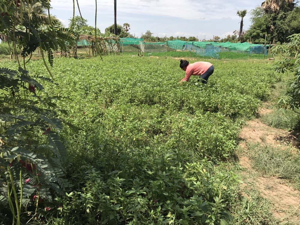 カンボジア バコン村のハーブ栽培