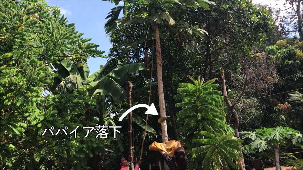バコン村でパパイア収穫